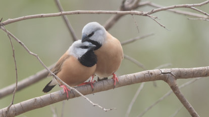 Adani's black-throated finch management plan given the green light