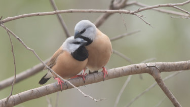 Queensland's Coordinator-General and the Department of Environment and Science approved Adani's black-throated finch management plan.