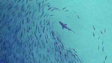 A Grey Nurse Shark approaching shoals of fish close to the shore at Bondi Beach.