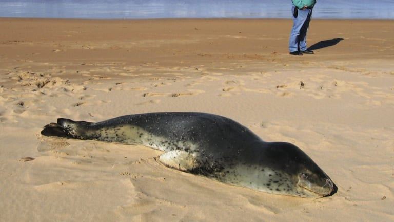 A beached leopard seal at Durras North on the NSW south coast in 2013.