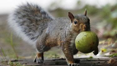 A squirrel carries a walnut in Portland, Maine.
