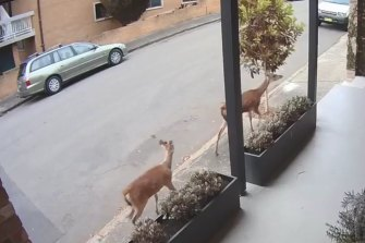 Two deer were filmed running through Coleridge Street at Leichhardt on Tuesday morning.