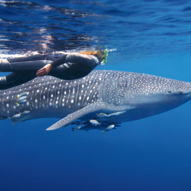A snorkeller swims alongside a whale shark near Exmouth.
