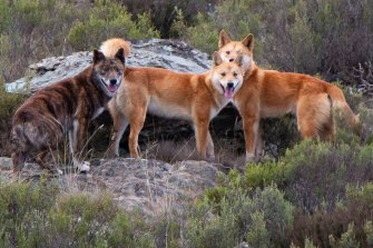 Early European settlers described seeing 'dark' coloured dogs with the Indigenous population - not just the ginger colours associated with dingoes since.