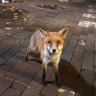 UNSW threatens to remove beloved fox