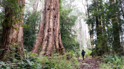 'Living giants': Conservationists urge government to protect oldest and largest trees