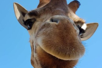 Thembi the 11-year-old giraffe. Werribee Open Range Zoo staff were heartbroken at his sudden death.