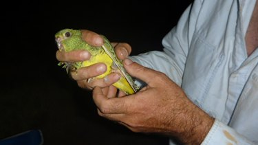 A rare photograph of the Australian Night Parrot.