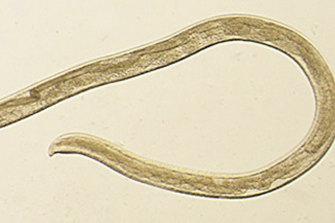 Thelazia gulosa is a type of eye worm seen in cattle in the northern United States and southern Canada.