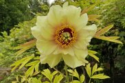 """Golden Era"" tree peony in Ron Boekel's wholesale nursery."