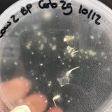 Early stage germination: orchid seedlings growing on a petri dish with their fungal partner.