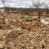 Cattle killed by flooding on Eddington station,20 kilometres west of Julia Creek, Queensland.