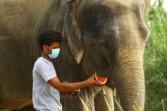 A volunteer at Wildlife SOS, India, wearing a mask feeds an elephant.
