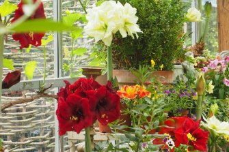 Hippeastrum flowers can brighten up any garden space.