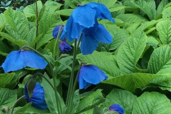 The Himalayan blue poppy thrives in cool, damp summers.