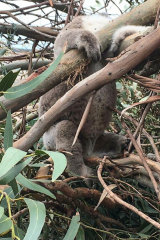 A koala pictured at the plantation.