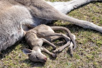 A dead kangaroo and its joey, also dead.