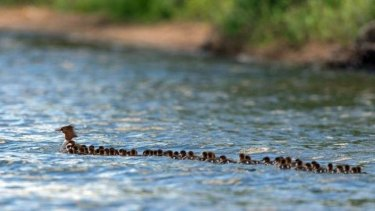 A brood of 76 ducklings following their mother in Minnesota.
