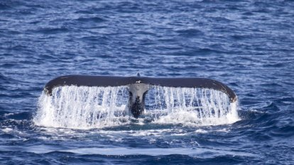 Clock ticking for rescue mission to free entangled humpback whale