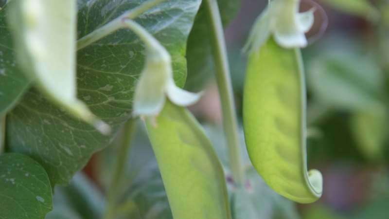Perth scientists crack the code to crops resilient to climate change
