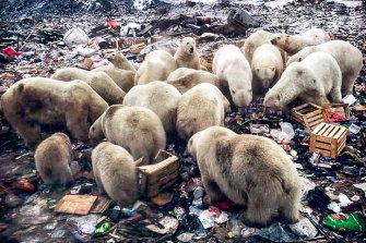 Polar bears are a serious risk on the Russian archipelago of Novaya Zemlya, where Putin's political opponent, Ruslan Shaveddinov was sent.