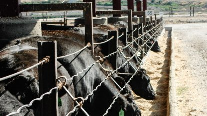 Harvey Beef proposes state's biggest intensive cattle feedlot in Wheatbelt