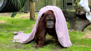 Sandra, a 33-year old orang-utan, settles into her new home at the Centre for Great Apes in Wauchula, Florida.