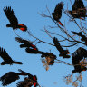 A flock of Red Tailed Black Cockatoo s, a native bird to Western NSW launch into the blue winters sky. The  Red Tailed Cockatoo pairs up in Spring. Walgett, NSW. Today 3rd of July, 2008.  SMH.NEWS. Photo by KATE GERAGHTY