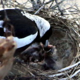 A Canberra magpie feeds its chicks.