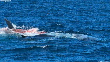 Killer whales attack a blue whale off WA coast.