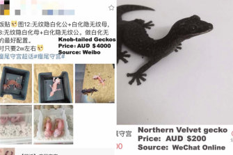 Lizards for sale on social media.Chinese consumers can purchase lizards online via sites like Taobao, China's largest online marketplace.