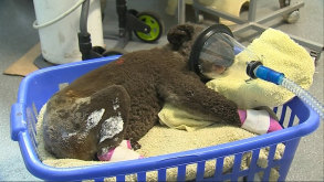 """Peter""at the Koala Hospital Port Macquarie was found injured at the Lake Innes Nature Reserve after bushfires."