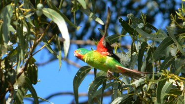 Taking flight: the critically endangered swift parrot