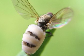 The fungus taking over its host fly.