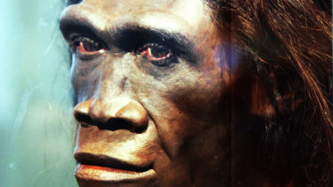 A model of an adult female Homo erectus, one of the first truly human ancestors of modern humans, on display at the Smithsonian Museum of Natural History in Washington DC.