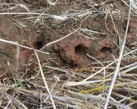 Mouse holes in Forbes NSW.