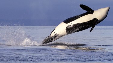 An endangered female orca leaps from the water while breaching in Puget Sound, west of Seattle.