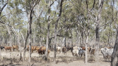 Feral cattle are an economic resource for traditional owners, as well as a source of damage to their country and cultural sites.