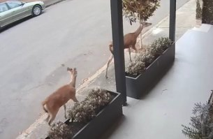 Two deer were filmed running through Coleridge Street at Leichhardt on October 6.