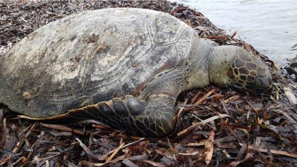 Sea turtle found dead, tangled in plastic off NSW South Coast