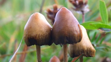 The hallucinogenic mushroom Psilocybe semilanceata (Fr.) photographed in Sweden.