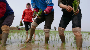 North Korean farmers plant rice seedlings in a field at the Sambong Cooperative Farm, South Pyongan Province, in May.