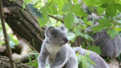 Poo transplant allows koalas to stomach bitter pill of habitat loss