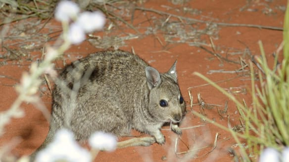 How ancient DNA linked a two-kilo wallaby to 240-kilo giant kangaroos