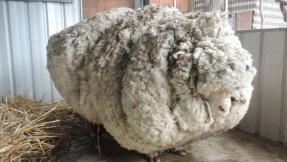 Chris the Sheep, famous for his record-breaking fleece, has died