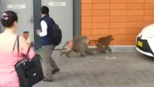 Several baboons have escaped a facility on the grounds of Royal Prince Alfred Hospital in Sydney.