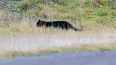 The large cat Amber Noseda saw in early June.