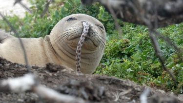 A juvenile Hawaiian monk seal was found with a spotted eel in its nose at French Frigate Shoals in the Northwestern Hawaiian Islands.