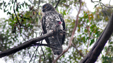 A powerful owl holding a rat.