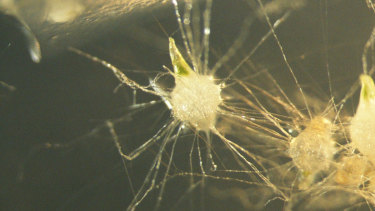 """The early stage of seedling development. The orchid's """"fungal partner"""" enters the seed through the hairs, and the orchid digests the fungi to gain nutrition. Getting the balance of nutrients and media right is critical; if the scientists get it wrong, the fungal partner will instead act as parasite and 'eat' the seedling."""